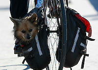 11March2008:  Grab / Evergreen Photo, Ocean Beach, CA.  Bear the dog travels close to the ground in the panniers of his owner's bicycle.