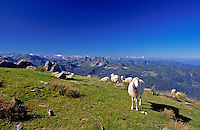 Austria, Styria, Reiteralm Panorama Trail: sheep - background Austrian Alps