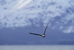 Bald eagle in flight, Cook Inlet, Alaska