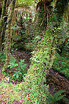 Cool Temperate Rainforest, Minnehaha Track, Fox Glacier, New Zealand