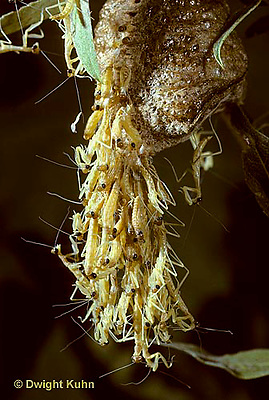 1M05-107z  Praying Mantis young emerging from egg case - Tenodera aridifolia sinenesis