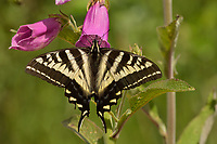 Western Tiger Swallowtail Butterfly (Papilio rutulus).  Pacific Northwest.  Summer.  Nectaring on foxglove blossom.