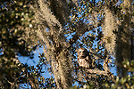 Brazoria County, Damon, Texas; an adult Barred Owl perched overhead on the branch of a large, live oak tree with spanish moss in late afternoon sunlight