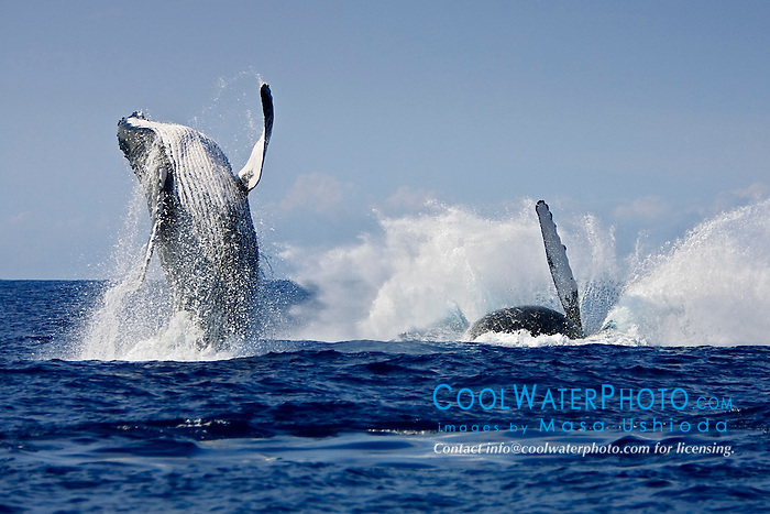 humpback whales in competitive group, double breach, Megaptera novaeangliae, Hawaii, USA, Pacific Ocean