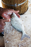 EXUMA, Bahamas. A fisherman cleaning a fish in Staniel Cay.