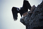Adult Female Andean Condor on edge of rock face with wings open.Torres del Paine National Park, Chile.