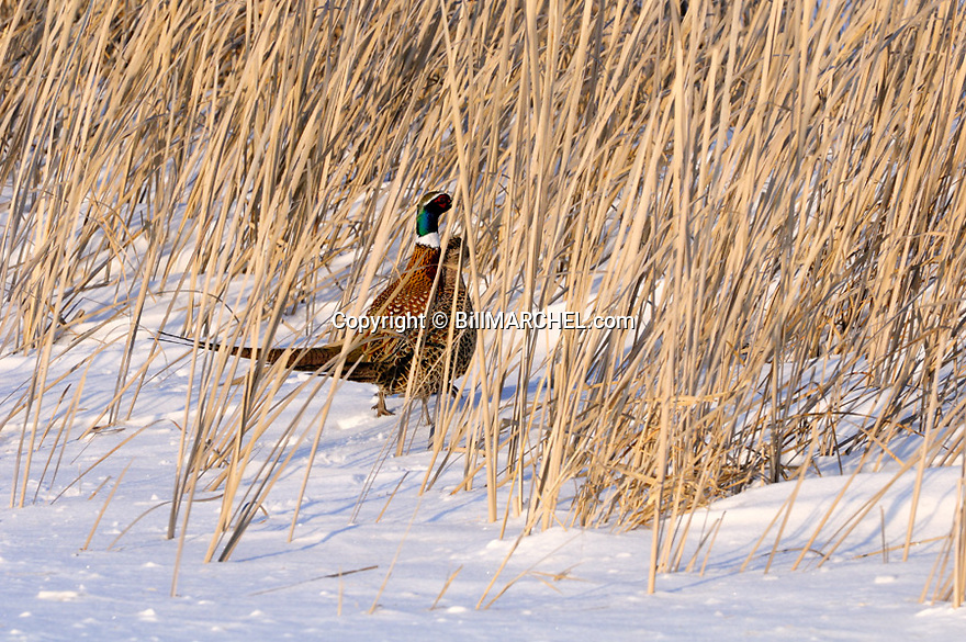 00890-037.14 Ring-necked Pheasant rooster and hen are in cattails during winter.  Hunt, winter survive, habitat, cold.