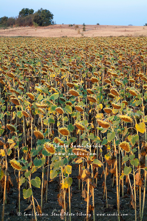 Dying sunflowers in field at sunrise, Aude, Alzonne, Carcassonne, France.