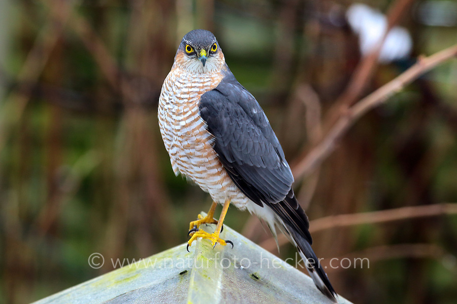 Sperber, Männchen, Terzel, am Vogelhäuschen, versucht dort Singvögel zu erbeuten, Accipiter nisus, northern sparrowhawk, sparrow hawk, male, Épervier d'Europe