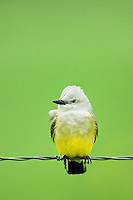 554600004 a wild western kingbird tyrannus verticalis perches on a barbed wire fence near neals lodge in the texas hill country of central texas