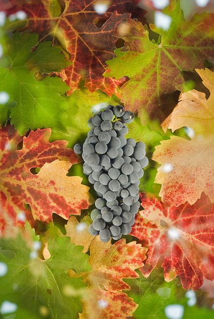 Cabernet grapes with leaves
