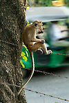 A toque macaque watches the traffic (responsible for monkey deaths and injuries) from the fence splitting the archaeological reserve that acts as its home and the town. Polonnaruwa, Sri Lanka. IUCN Red List Classification: Endangered