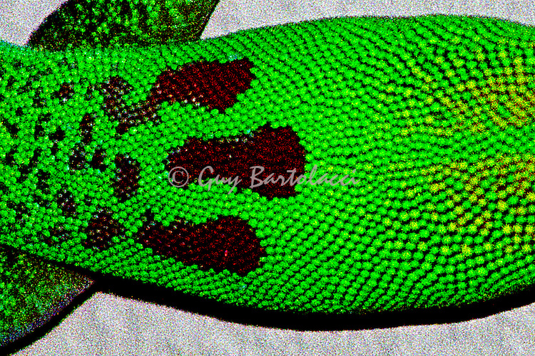 Gecko Scales