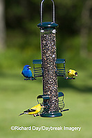 00585-03801 American Goldfinches (Carduelis tristis)  & Indigo Bunting (Passerina cyanea) on sunflower tube feeder, Marion Co., IL