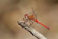 362750003 a wild male spot-winged meadowhawk dragonfly sympetrum signiferumon perches on a dead branch over empire creek las cienegas natural conservation area pima county arizona united states