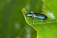 Blauer Scheinbockkäfer, Ischnomera spec., Asclera spec., Ischnomera cyanea oder Ischnomera caerulea, Scheinbockkäfer, Schein-Bockkäfer, Scheinböcke, Pollen-feeding Beetle, Thick-legged Flower Beetle, false blister beetles, pollen-feeding beetles, Oedemeridae