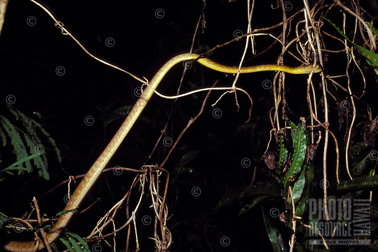 Brown Tree Snake climbing through vegetation on Guam.
