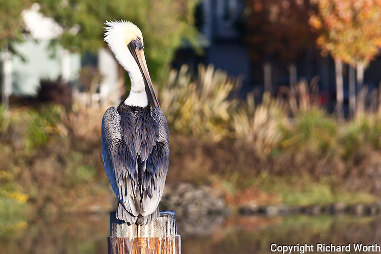 Perched on a piling in San Francisco's Mission Creek, with just a touch of fall color in view, a Brown pelican casts a wary look over its shoulder.