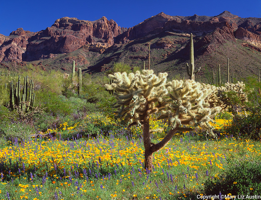 Organ Pipe Cactus Nat'l. Mon, AZ  /<br /> Teddy bear cholla cactus with Mexican gold poppies & Coulter's lupine with Ajo Range against desert skies