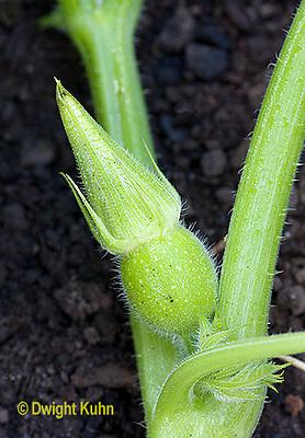 HS24-550z  Pumpkin flower bud about to open