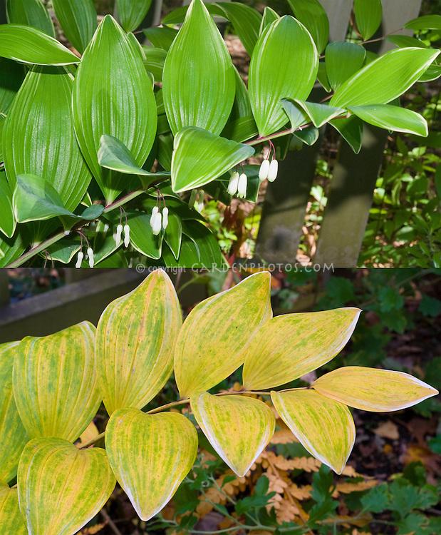 Polygonatum odoratum var. pluriflorum 'Variegatum'  in two different stages, flower and fall autumn foliage composite picture