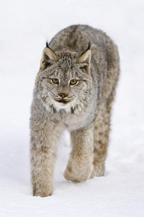 Canada Lynx walking through the snow - CA