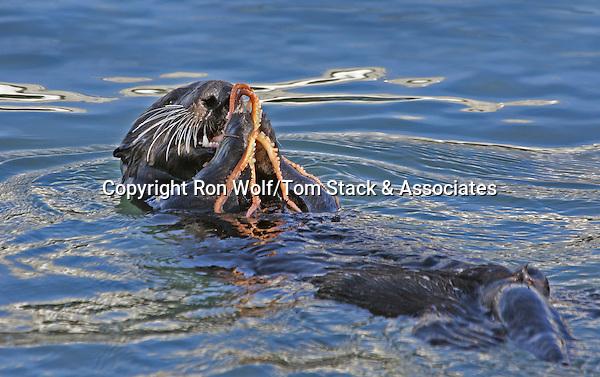 Southern Sea Otter (Enhydra lutris) feeding on a Red Octopus (Octopus rubescens). Elkhorn Slough. Moss Landing State Beach. Moss Landing, Monterey Co., Calif.