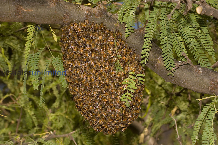 Honey Bee (Apis mellifera) swarm in a Mesquite tree, Sonoran Desert, Arizona, USA.