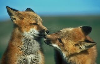 Fox,rev,revunger,fox kids,snuse,underdanig,