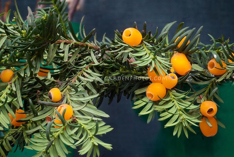 Taxus baccata 'Lutea' fruits berries yellow orange
