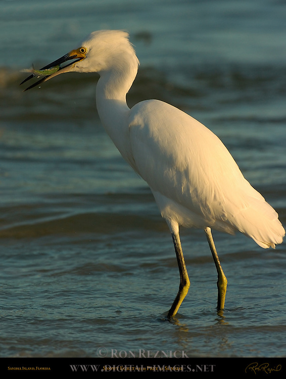 Snowy Egret with Prey at Sunrise Sanibel Island Florida