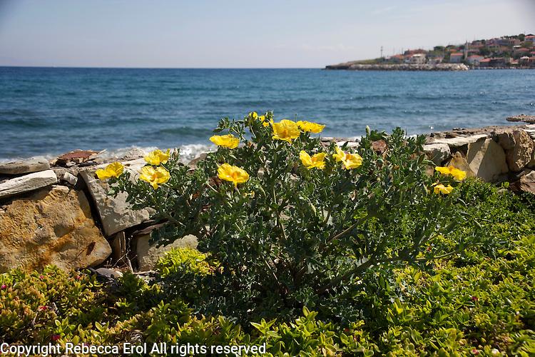 Yellow-horned poppies on the Karaburun Peninsula, Turkey. The town of Karaburun is in the background
