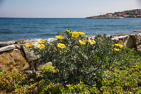 Yellow-horned poppies on the Karaburun Peninsula, Turkey. The town of Karaburun is in the background