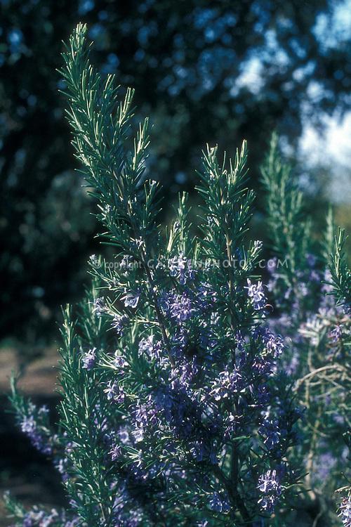 Rosmarinus 'Severn Seas' in flower, rosemary, Mediterranean shrub, herb, scented aromatic foliage
