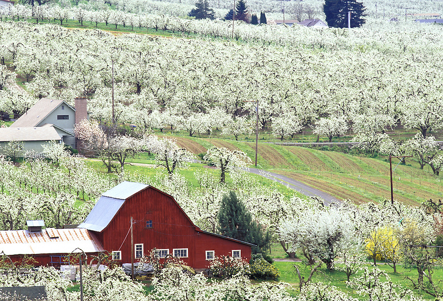 Red barn in blossoming pear orchards, Hood River, Oregon.