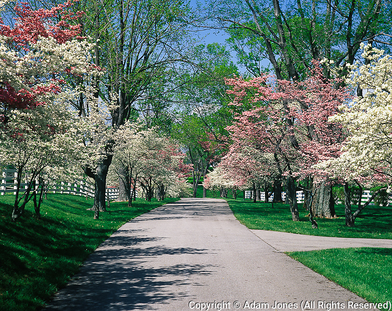Roadway lined with pink and white dogwood trees in full bloom, Lexington, Kentucky