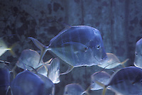 Iles Bahamas / New Providence et Paradise Island / Nassau: Hotel Atlantis à Paradise Island-les aquariums géants