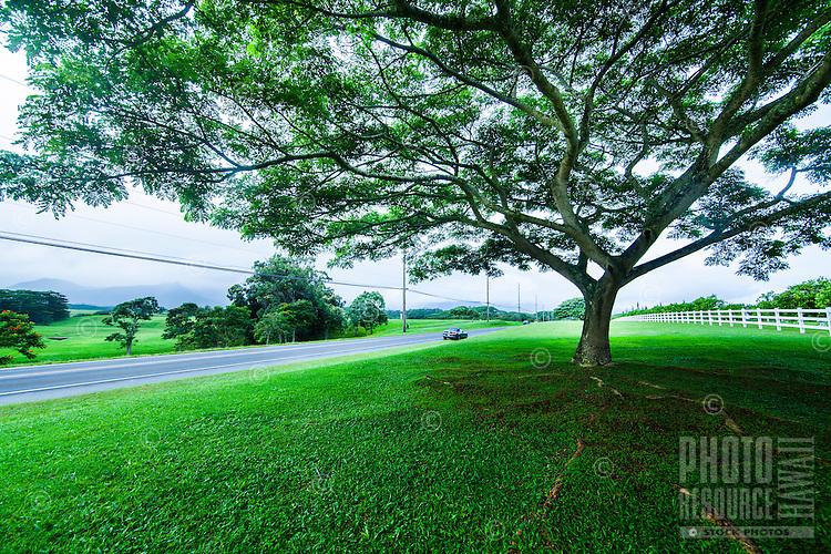 A car cruises past a big, shady tree along a country road heading towards Princeville on Kaua'i.