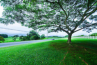 A car cruises past a big, shady tree along a country road heading towards Princeville on Kaua'i.