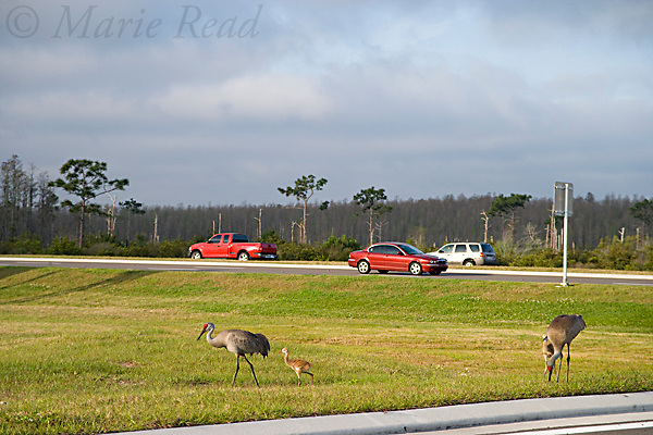 Greater Sandhill Cranes (Grus canadensis) (Florida race), adults and chicks near road with traffic passing, Kissimmee, Florida, USA