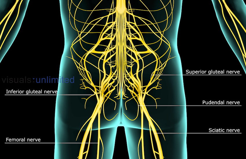 A posterior view of the nerve supply of the lower body. The surface anatomy of the body is semi-transparent and tinted green. Royalty Free