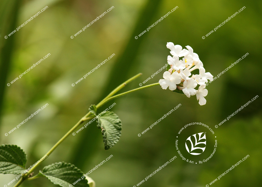 Beautiful tiny white sky flowers delicate stem with blurred background of greenery