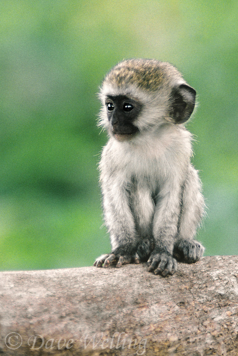 660370001 wild baby vervet monkey cercopithecus aethiops sitting on a log in ngorogoro crater reserve in tanzania