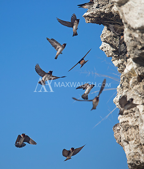Cliff swallows fly to their nests at Soda Butte.