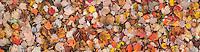 Fallen Sugar Maple Leaves, Washington