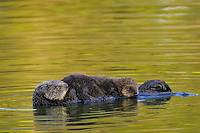 Sea Otter (Enhydra lutris) mother with young pup.