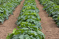 21.7.2020 Pumpkin plants growing  in the Lincolnshire Fens <br />  ©Tim Scrivener Photographer 07850 303986<br />      ....Covering Agriculture In The UK.