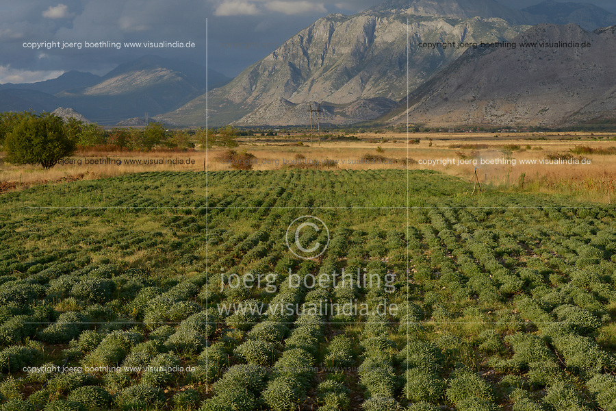 ALBANIA, Shkodra, farming of herbal and medical plants, irrigated sage plants infront of albanian alps / ALBANIEN, Shkoder, Anbau von Heil- und Gewuerzpflanzen, bewaesserte Salbeipflanzen vor Albanischen Alpen