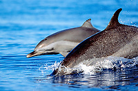 pantropical spotted dolphins, mother and calf, Stenella attenuata, wake-riding, Big Island, Hawaii, Pacific Ocean
