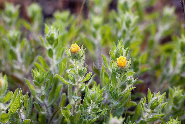 Golden Aster flowers just beginning to open